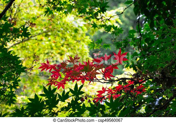 Japanese maple. - csp49560067