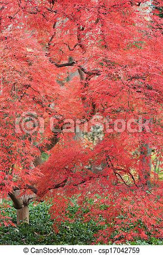 Japanese Maple - csp17042759