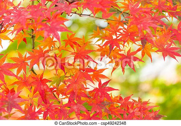 Japanese maple - csp49242348