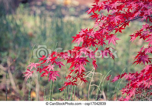 Japanese Maple - csp17042839