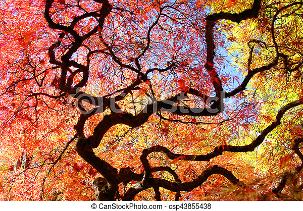 Japanese Maple Tree And Yellow Fall Trees Japanese Maple Tree In