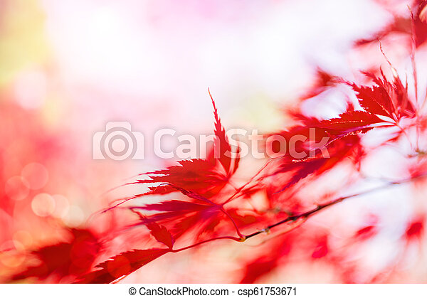 Japanese Maple Tree In Autumn Red Japanese Maple Tree Leaves In Autumn