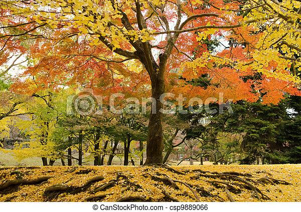 Japanese maple tree in autumn - csp9889066