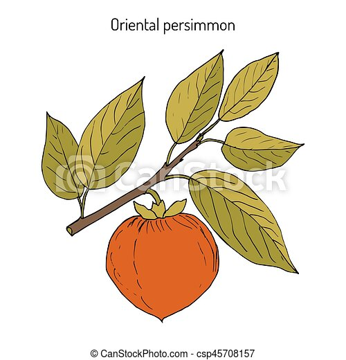 japanese persimmon diospyros kaki or chinese persimmon kaki kaki persimmon oriental persimmon hand drawn botanical https www canstockphoto com japanese persimmon diospyros kaki 45708157 html