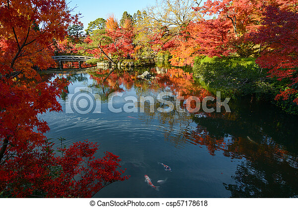 Japanese pond garden with autumn maple tree reflections and colorful fish - csp57178618