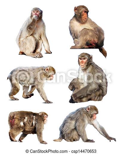 japanisches , wenige, macaques., freigestellt, satz, weißes, aus - csp14470653