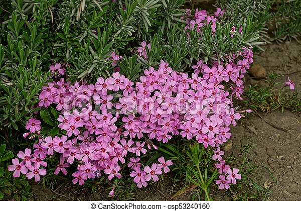 Decorativo Jardin Arriate Arbusto Verde Pequeno Flores Rojo