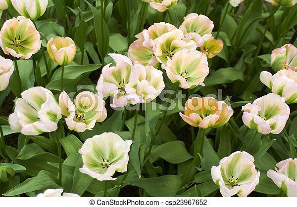 jardín, flor, keukenhof, primavera, día, países bajos, tulipanes, blanco, fresco - csp23967652