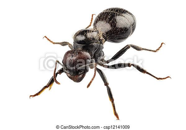 Especies de hormigas negras de jardín, Lasius Nigeria - csp12141009
