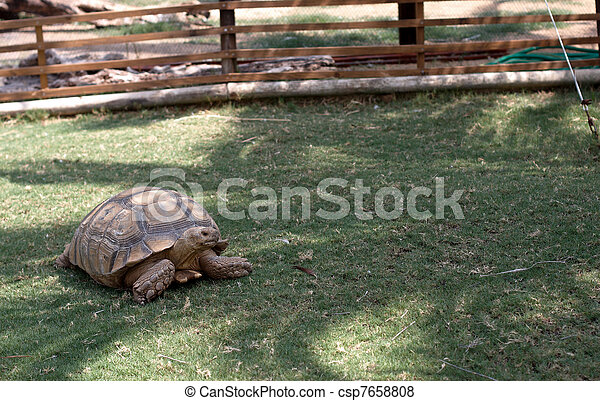 Una tortuga en el jardín - csp7658808