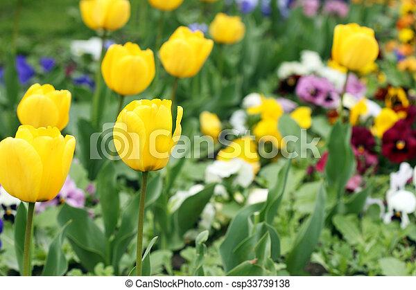 tulipe saison