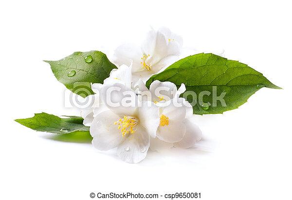 jasmin, hintergrund, freigestellt, blume, weißes - csp9650081