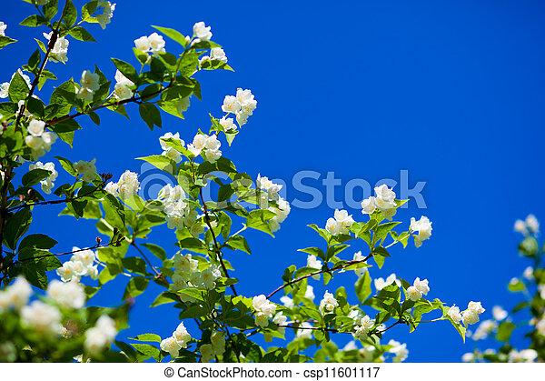 jasmine against blue sky - csp11601117