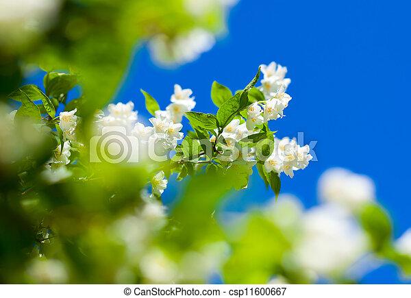 jasmine against blue sky - csp11600667