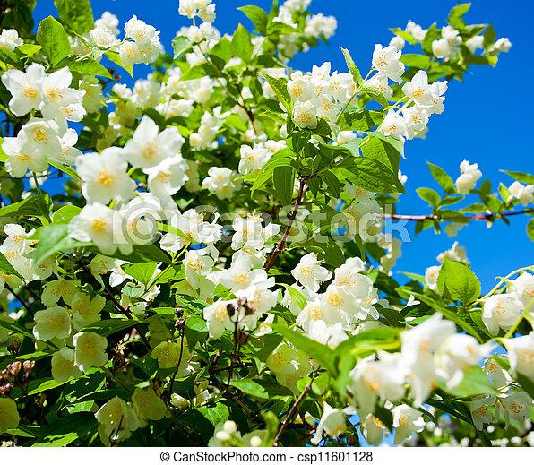 jasmine against blue sky - csp11601128