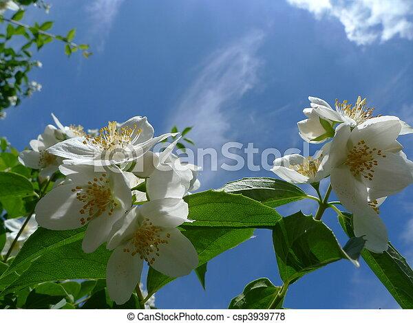 Jasmine blossom against ble sky - csp3939778