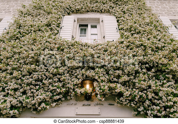 Jasmine curling up the wall by a window with open shutters and a street lamp on. - csp88881439