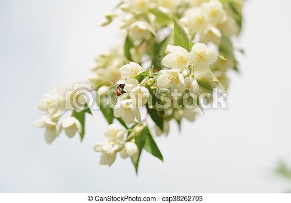 Jasmine flowers blossoming on bush against blue sky - csp38262703