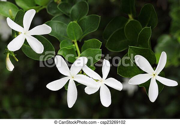 Jasmine Flowers - csp23269102