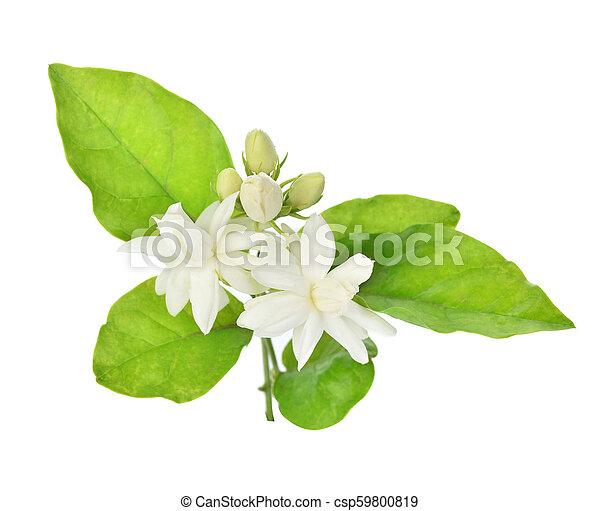 Jasmine isolated on white background - csp59800819