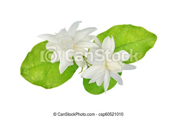 Jasmine isolated on white background - csp60521010