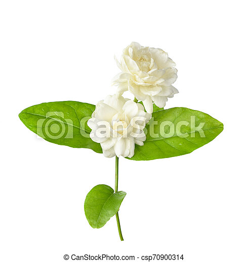 Jasmine isolated on white background - csp70900314
