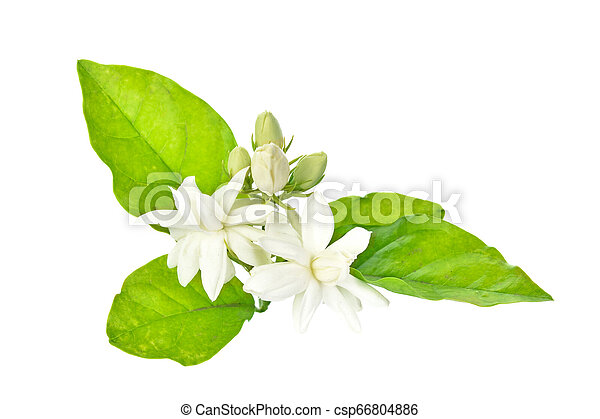 Jasmine isolated on white background - csp66804886