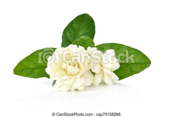 Jasmine isolated on white background - csp70158266