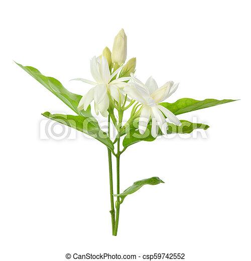 Jasmine isolated on white background - csp59742552