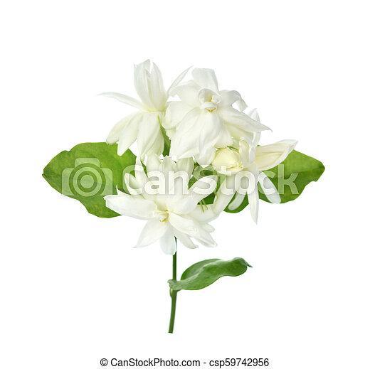 Jasmine isolated on white background - csp59742956