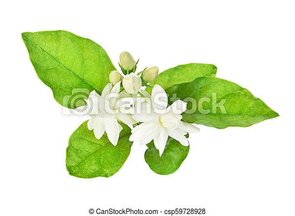 Jasmine isolated on white background - csp59728928