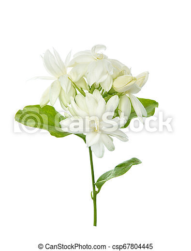 Jasmine isolated on white background - csp67804445