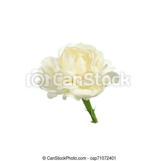 Jasmine isolated on white background - csp71072401