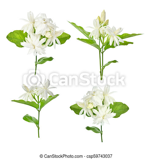 Jasmine isolated on white background - csp59743037