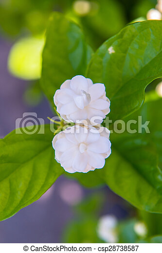 Jasmine - csp28738587