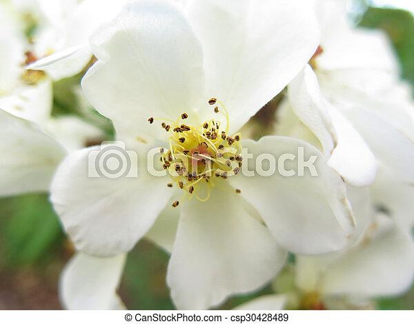 jasmine - csp30428489