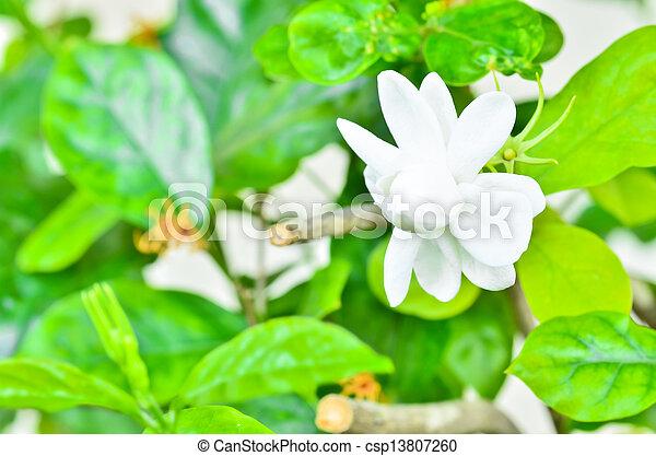 Jasmine - csp13807260