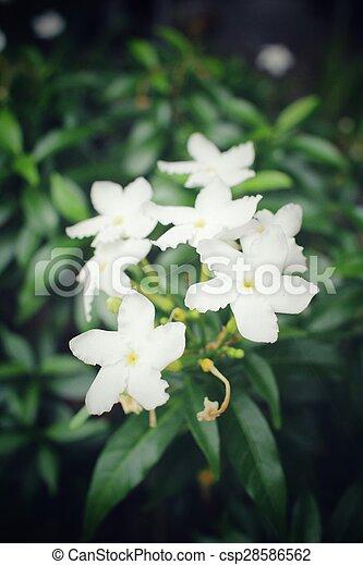 Jasmine - csp28586562