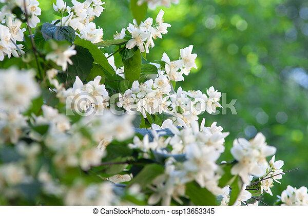 Jasmine - csp13653345