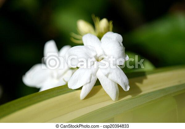 Jasmine - csp20394833