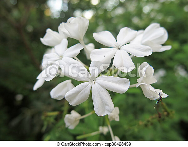 jasmine - csp30428439