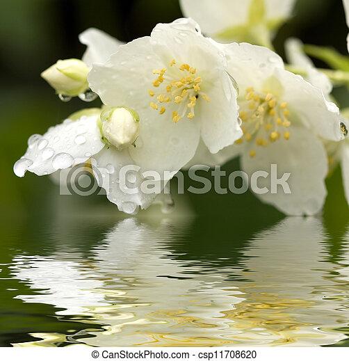 jasmine with dew drops - csp11708620
