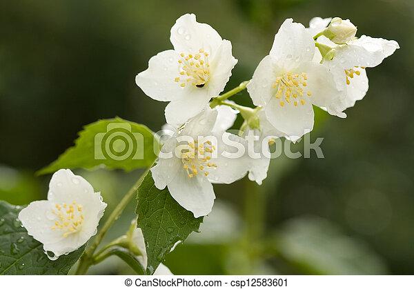 jasmine with dew drops - csp12583601