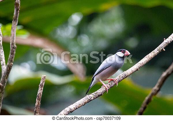 Java sparrow in a tree