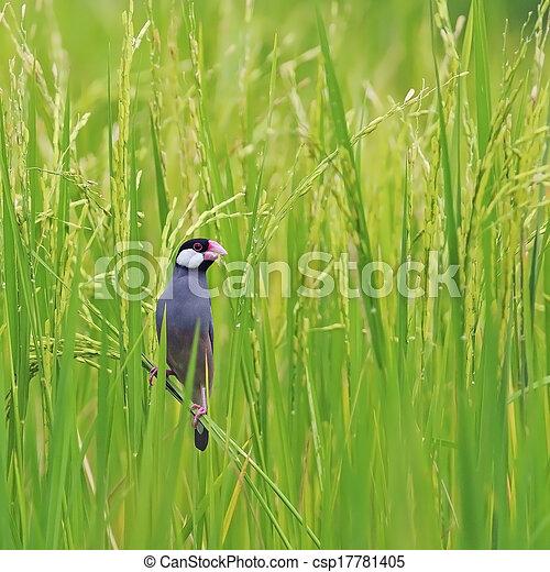 Java Sparrow - csp17781405