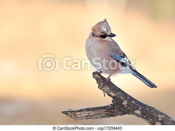 Jay bird - csp17209443