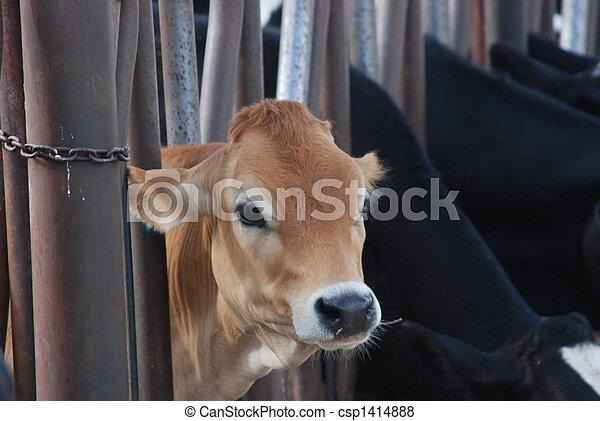 jersey koe, gezicht - csp1414888