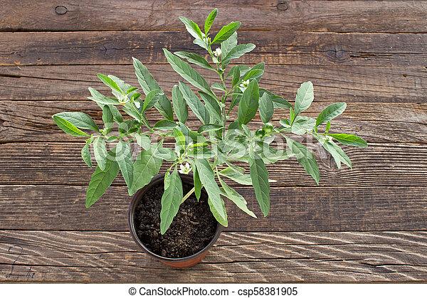 Jerusalem cherry plant in pot on wooden background - csp58381905