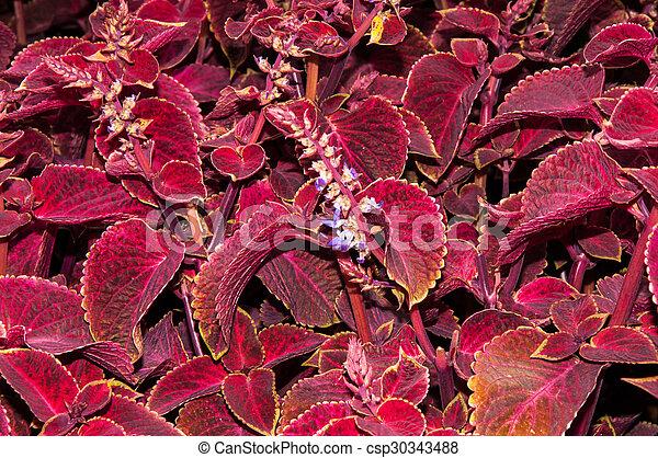 Cudowna Jesień, kwiat, pokrzywka. Evergreen, rośliny, bylina, rodzina EC87