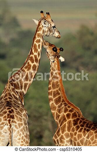Interacción de jirafa - csp5310405